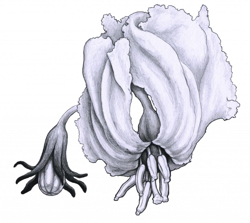 Studie- Auberginenblüte