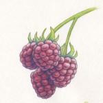 Himbeere- Watercolor/Polycromos